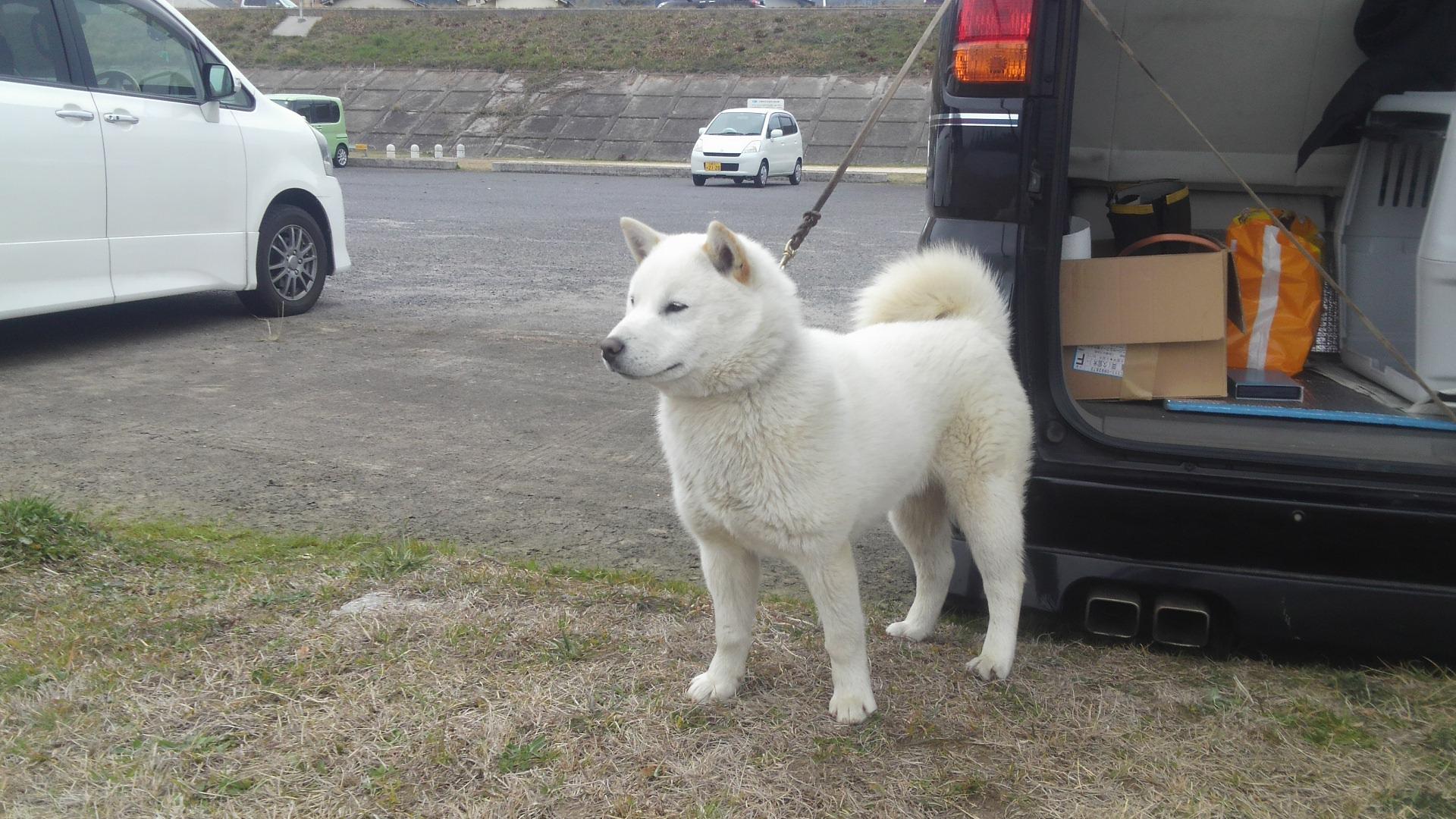 子犬の叔父にあたる純千歳白虎は北海道犬協会で二戦二勝の優秀犬です。