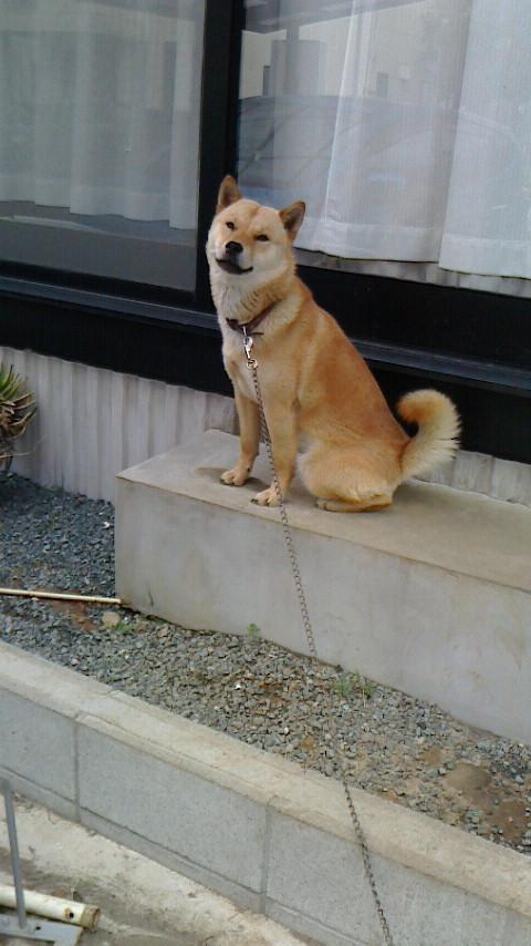 子犬の叔父にあたる純千歳百鬼は北海道犬協会で活躍中の優秀犬です。(純千歳百鬼は純千歳白虎の全弟になります。)