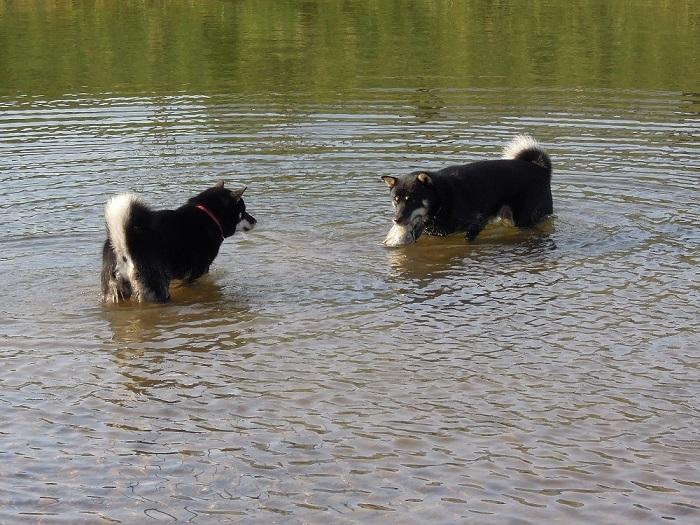 川で遊ぶ黒褐子犬の両親。左側は母犬、右側は父犬