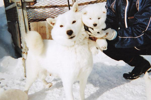 白毛/メス姉妹と母犬の愛花です。(2月2日日撮影 生後37日目)