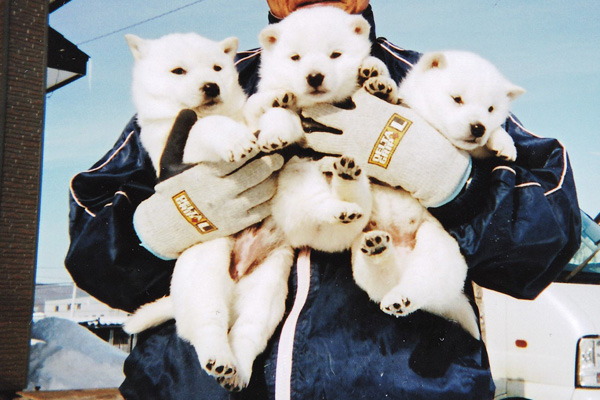白毛/メス姉妹。二頭をお譲りいたします。(2月2日日撮影 生後37日目)