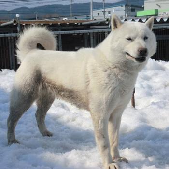 父の翔太・鵡川三上は本部展優勝歴をもつ優秀犬です。