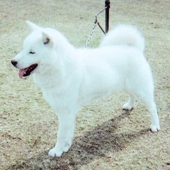 母の愛花・北海小松は本部展優勝歴を持つ優秀犬です。