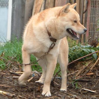 これからの種牡として期待のかかる良血犬のシレト・ピンネシリ杉山犬舎
