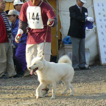 平成20年秋季本部展成犬牡組比較審査 (先頭のゼッケン144が雄勝・小樽光洋荘)