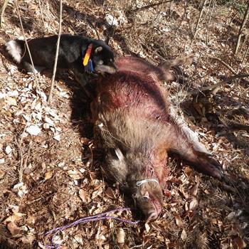 2013年1月のサチ実猟画像。サチは2012年11月の猟期から澤氏とともにイノシシ猟についているが、サチは期待通りの成果をあげているとのことである。