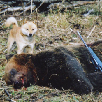 平成21年12月、青森在住の狩猟者が、 根室管内厚岸町で森田龍彦氏繁殖の森田千歳二・十勝森田荘を使い体重240キロのヒグマを獲ったときの画像