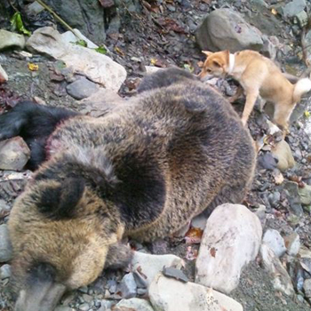 札幌市在住のハンター向井氏が平成24年10月4日、北海道富良野方面の山林で体重140kgの牝ヒグマを 仕留めた画像。この時活躍したのが十勝森田荘・森田龍彦氏繁殖の森田十勝百七・十勝森田荘。(コールネーム ピン) 今年5/1生まれのピンは赤毛/メスで本年から猟犬訓練を開始した。