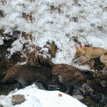 山梨県は山中湖村在住のハンター羽田氏のご愛犬でイノシシ猟犬の十勝猟皇・釧路森田荘。十勝猟皇は単独で200キロクラスのイノシシの群れに立ち向かい、今まで数え切れぬほどのイノシシを獲っているとの事です。また種牡犬として優秀なイノシシ猟犬の仔を出しているそうです。