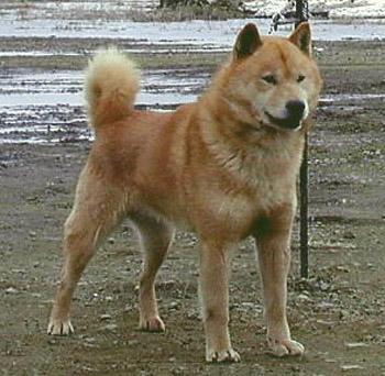 第135回本部展牡組全犬最優勝の荒牙・ピンネシリ杉山犬舎