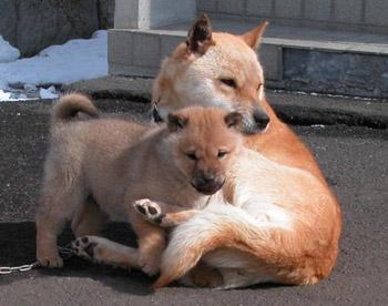 阿久姫・図嶺荘濱田と今年生れた子犬