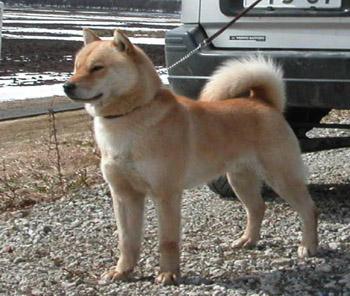平成20年冬季本部展未成犬牡組で優勝の コタン・ピンネシリ杉山犬舎