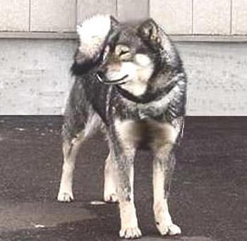 第135回本部展牝組全犬最優勝の荒涼・ピンネシリ杉山犬舎