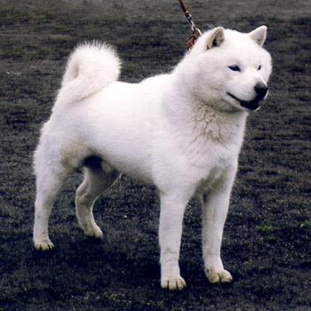 雄冬・札幌定山荘 平成17年春季本部展牡組全犬最優勝時