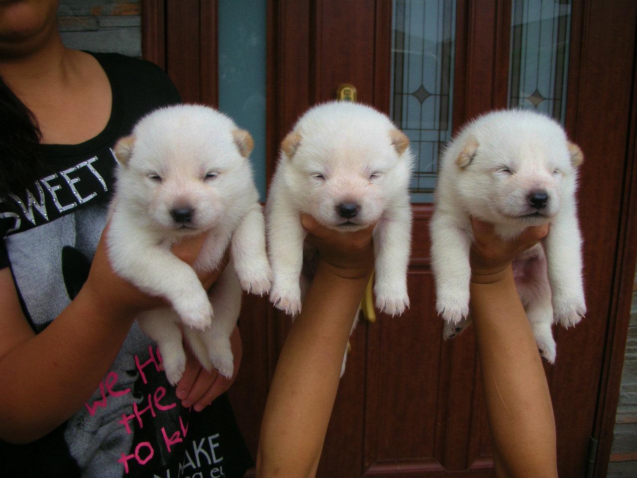 白毛の3兄妹のそろい踏みです。(9月20日撮影 生後17日目)