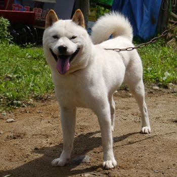 子犬の兄にあたる、えぞ大は支部展で優勝歴を持つ優秀犬です。