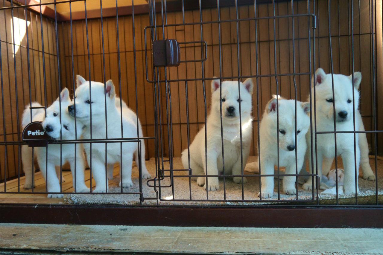 子犬は五頭兄妹。普段は玄関内にあるケージでお母さんと一緒です。