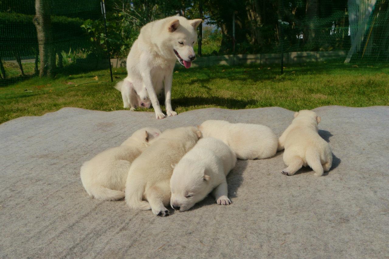 母犬と一緒の五頭兄妹です。(9月30日撮影 生後15日目)