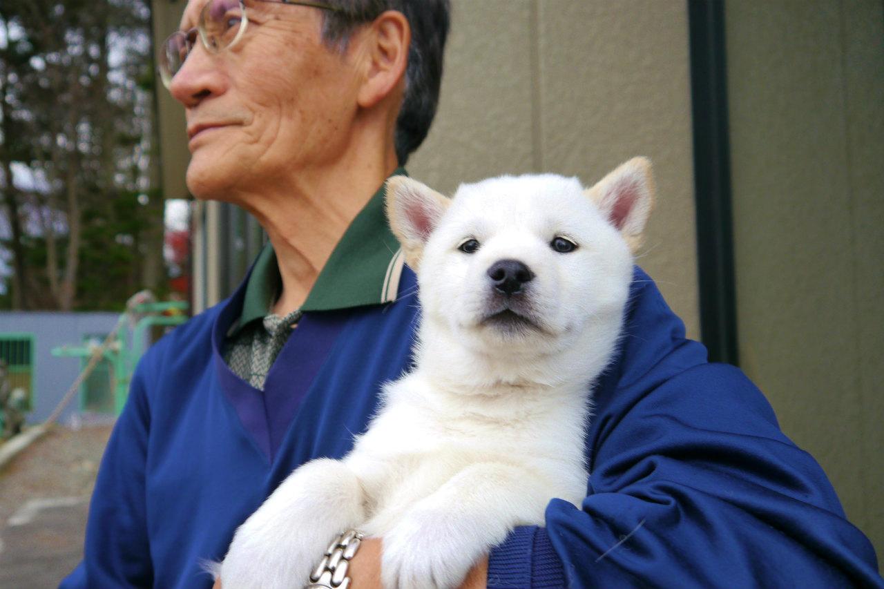 白メス2頭目です。色素よく元気な子犬です。(11月6日撮影 生後52日目)