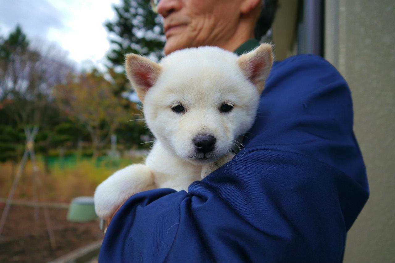 白メス1頭目です。動きの良い子犬です。(11月6日撮影 生後52日目)