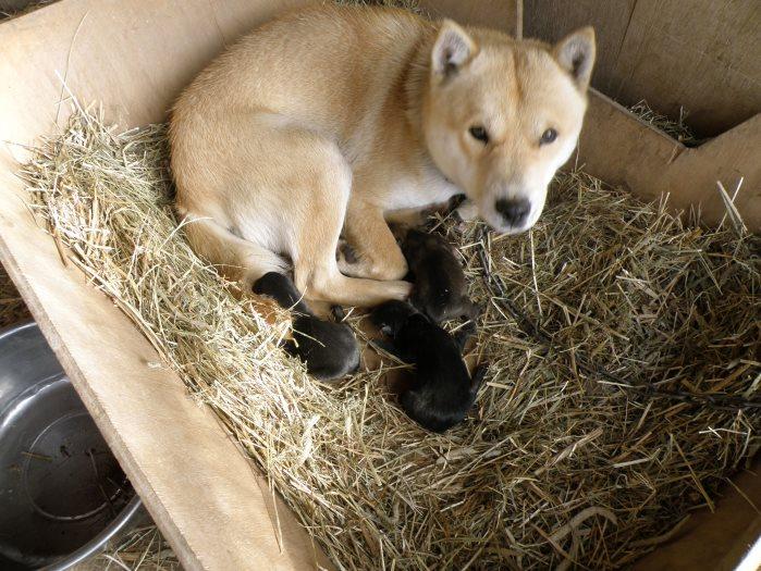 母犬の十勝森田百十三・十勝森田荘。この画像は昨年出産時のものです。