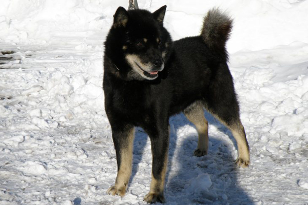 父犬の十勝黒皇・釧路森田荘。十勝森田荘を代表するのヒグマ実猟犬であり、種牡犬であります。