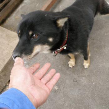 母犬の十勝七十・十勝森田荘。長野のサチなどイノシシ猟犬として優秀な北海道犬を生んでいます。