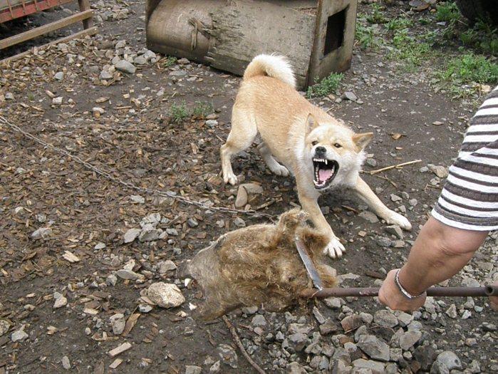 父犬の十勝森田六十八・十勝森田荘。乾燥ヒグマ頭部を使用し訓練中です。