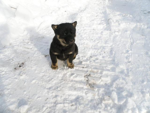 黒褐/オス。雪の中で元気に育っています。(12月18日撮影 生後47日目)