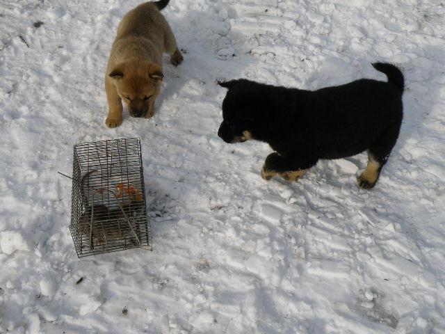 黒褐/オスと赤毛/メス(譲渡対象外)の兄妹がネズミ捕りのネズミに興味津々です。(12月18日撮影 生後47日目)
