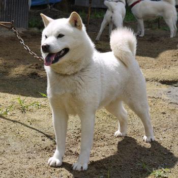 子犬の母方の祖母にあたる北海媛。北海媛は牝犬日本一を獲得した菊姫を生むなど優秀な繁殖牝です。