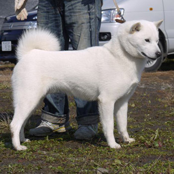 子犬の父犬である大吉。大吉は本部展覧会などで優勝多数の優秀犬で、来年は牡犬日本一を目指しています。