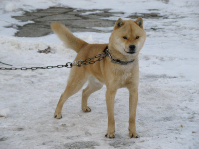 父犬の十勝森田百十二・十勝森田荘。十勝森田荘期待の北海道犬です。