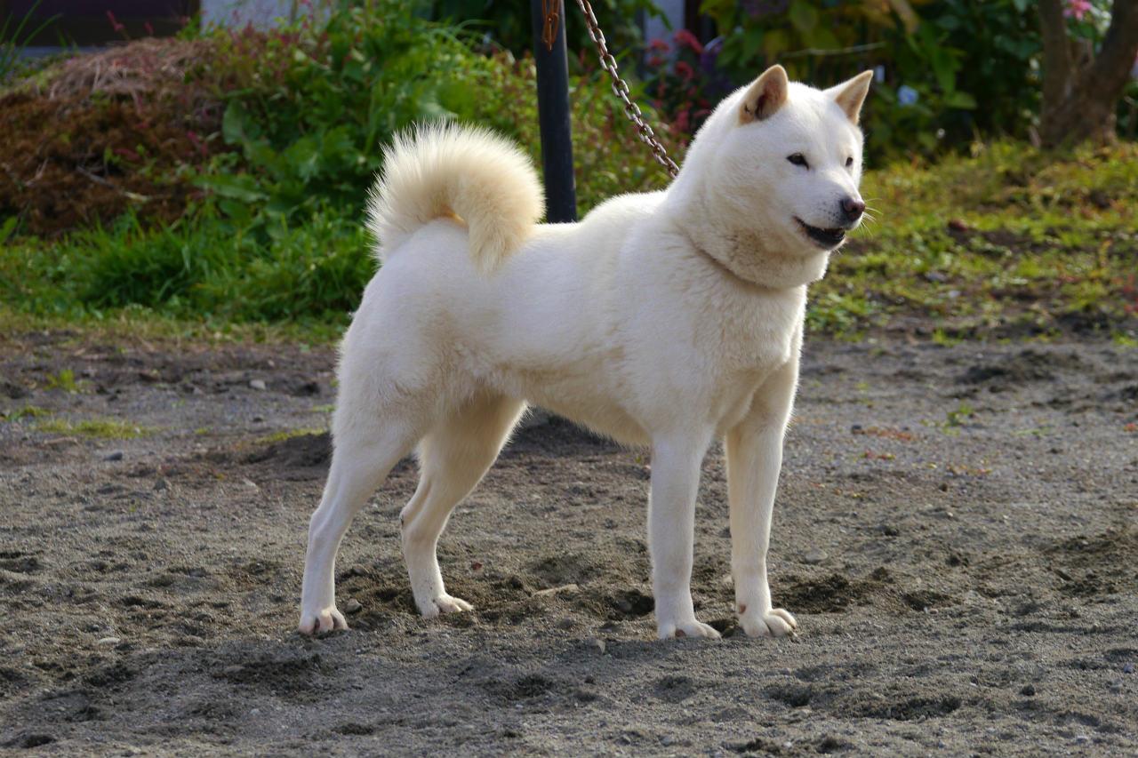 子犬の母犬の翠姫の同胎姉妹である菊姫。菊姫は本年秋に「牝犬日本一」に輝いた名犬です。