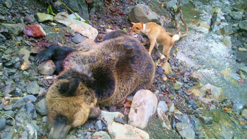 札幌のハンター向井氏のご愛犬ピンと、ピンが生後五か月で獲った大ヒグマ。子犬はピンの弟犬にあたります。