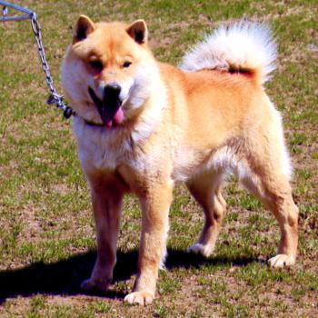 父犬のトウプシキテ・岩見沢やかた。千歳系種牡犬として評価の高い北海道犬です。