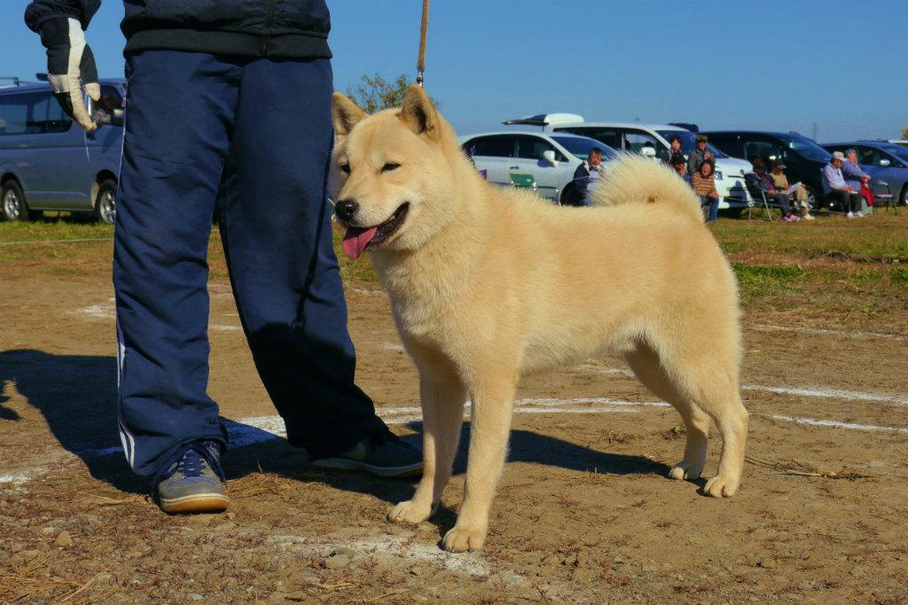 父犬の勇道丸・富川豊田 平成26年秋季本部展の幼犬牡組優勝時の画像。