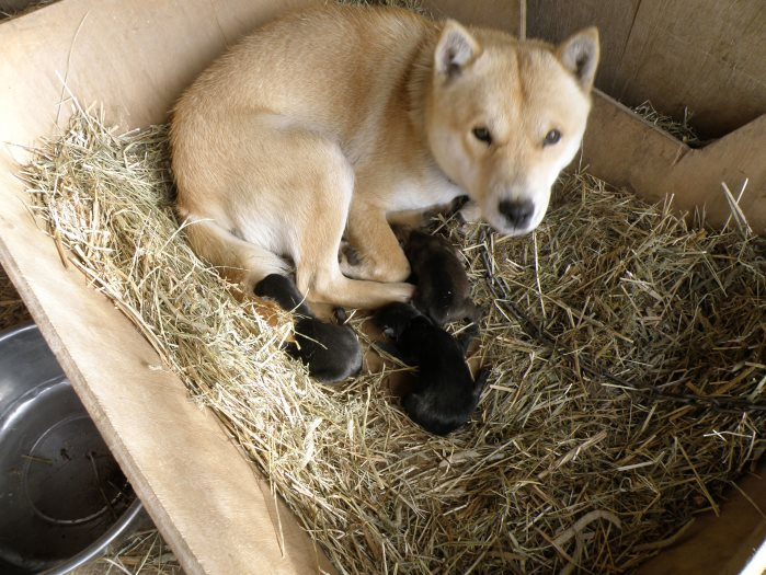 母犬の十勝森田百十三・十勝森田荘。画像は一昨年出産時のものです。