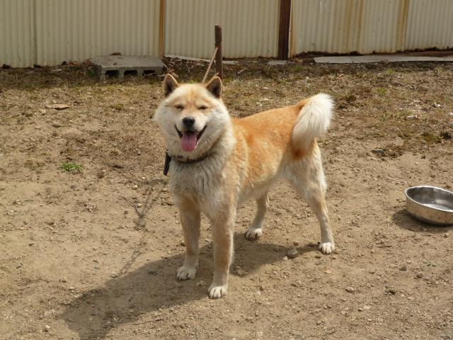 父犬の十勝森田六十八・十勝森田荘。十勝森田荘期待の北海道犬です。