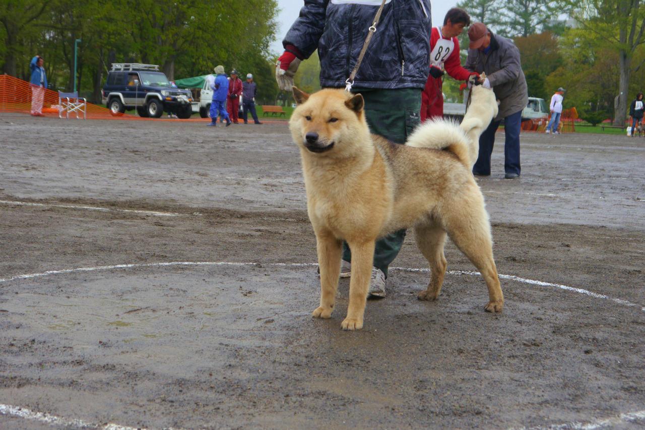 母犬の阿加・北国荘は千歳系の血量50%を有する繁殖牝であります。