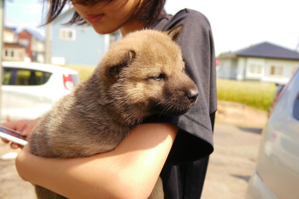 赤毛オスの1頭目です。この子犬は灰毛になる可能性あります。(8月9日撮影 生後36日目)