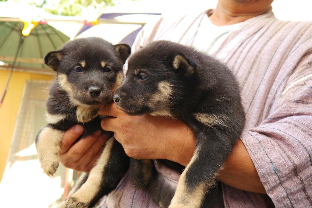 黒褐の兄弟。右側の子犬の横顔はこんなです。(8月24日撮影 生後30日目)