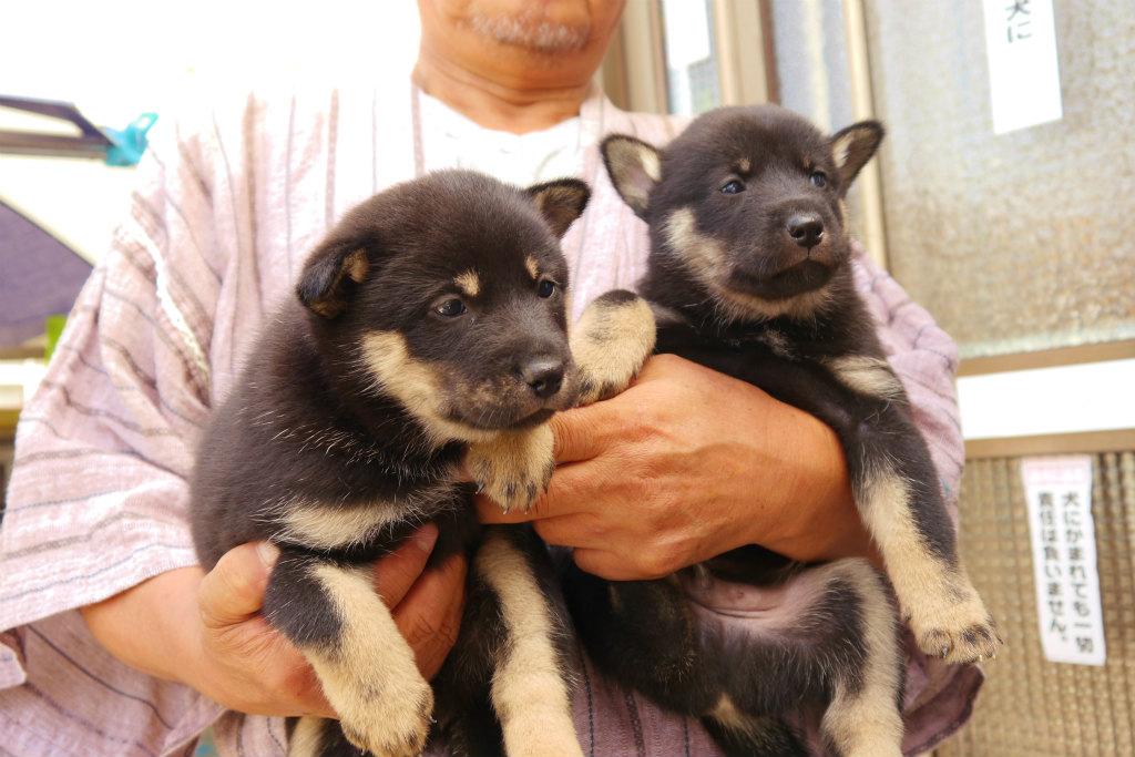黒褐の兄弟。左側の子犬はこんな感じです。(8月24日撮影 生後30日目)