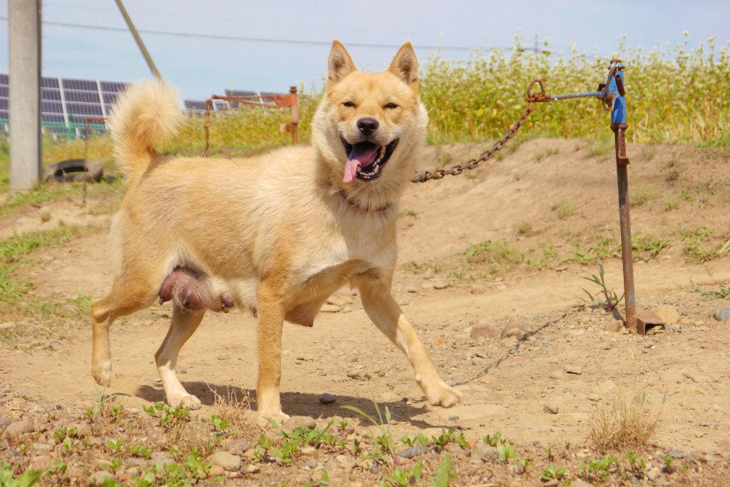 父犬の永依斗・ベリードッグは昨年の春季本部展覧会未成犬牡組優勝の優秀犬です。