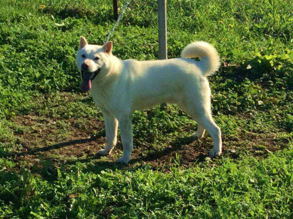 父犬の不二狼・北秀荘は貴重な不二系の種牡犬です。