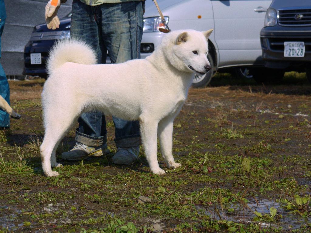 子犬の父犬の大吉・穂和荘。本部展、支部展全犬優勝多数の優秀犬です。