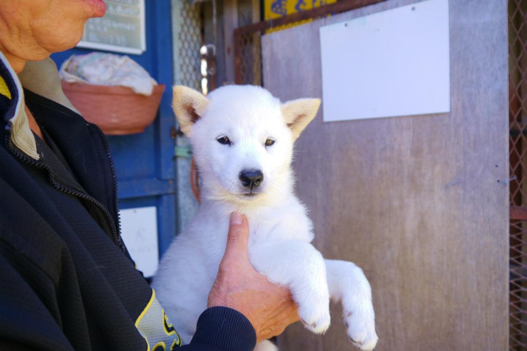牝犬日本一を獲得した菊姫・穂和荘の仔にふさわしい気品のある白毛/オスです。(9月14日撮影 生後59日目)