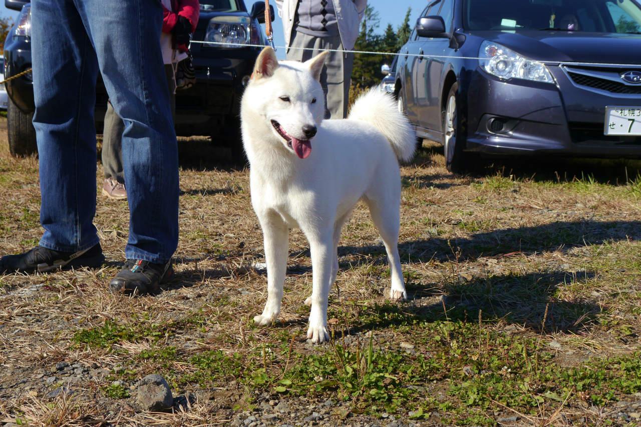 子犬の母の桜子・穂和荘は純白の被毛と好ましい色素を有する北海道犬です。