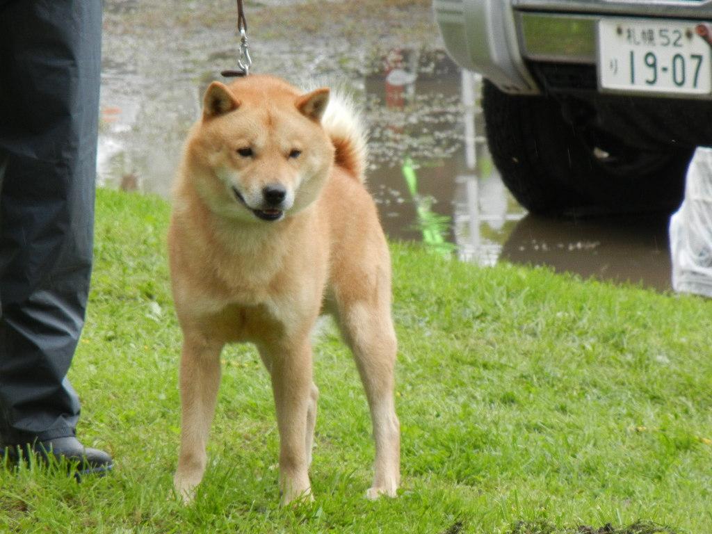 子犬の父の 光太・広尾北進荘の血筋は北海道犬日本一多数の優秀血統です。