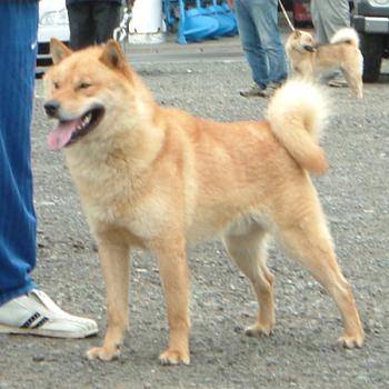 父の千歳王冠は支部展等で優勝歴を持つ優秀な種牡犬です。
